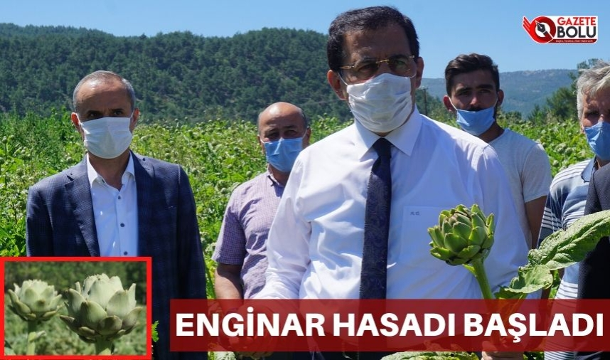 ENGİNAR HASADI BAŞLADI